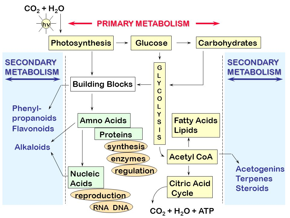 CO2 + H2O PRIMARY METABOLISM Photosynthesis Glucose Carbohydrates
