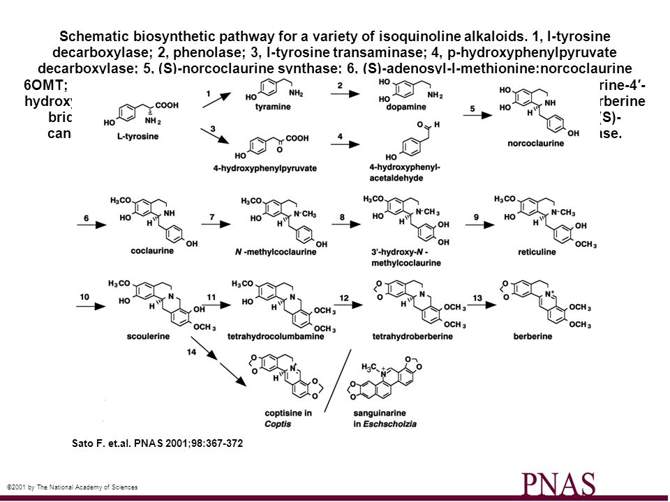 Schematic biosynthetic pathway for a variety of isoquinoline alkaloids
