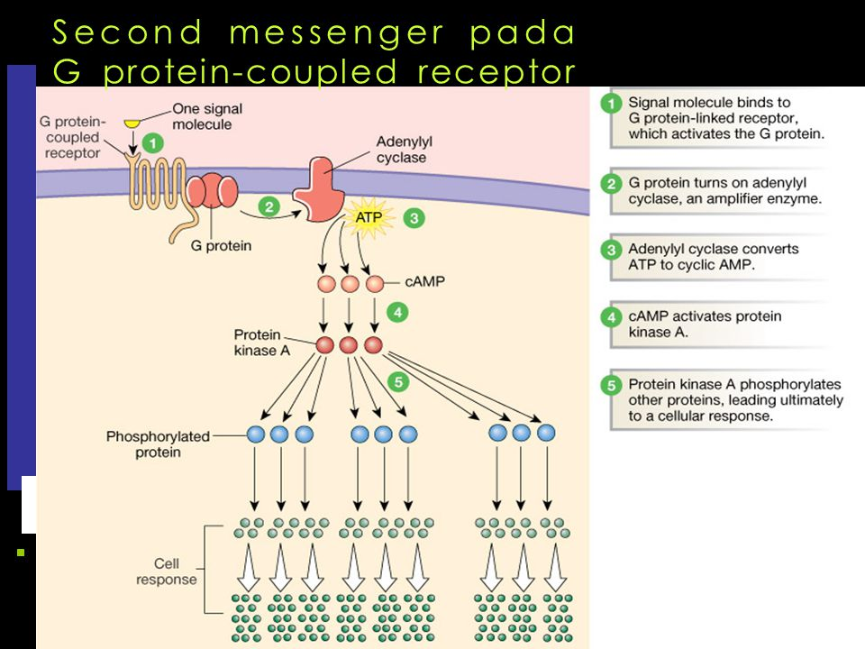 Second messenger pada G protein-coupled receptor