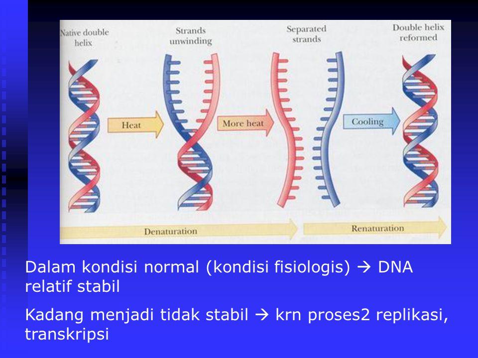 Dalam kondisi normal (kondisi fisiologis)  DNA relatif stabil