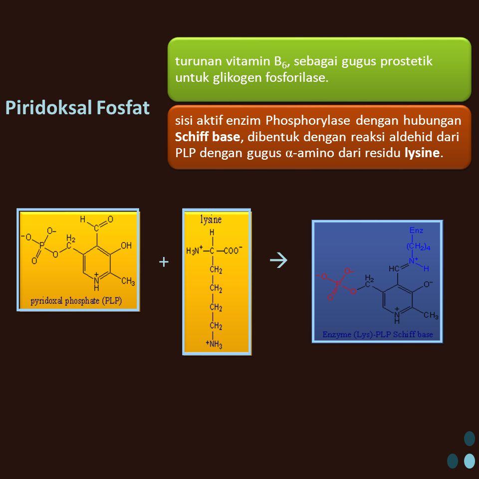 Piridoksal Fosfat +  turunan vitamin B6, sebagai gugus prostetik untuk glikogen fosforilase.