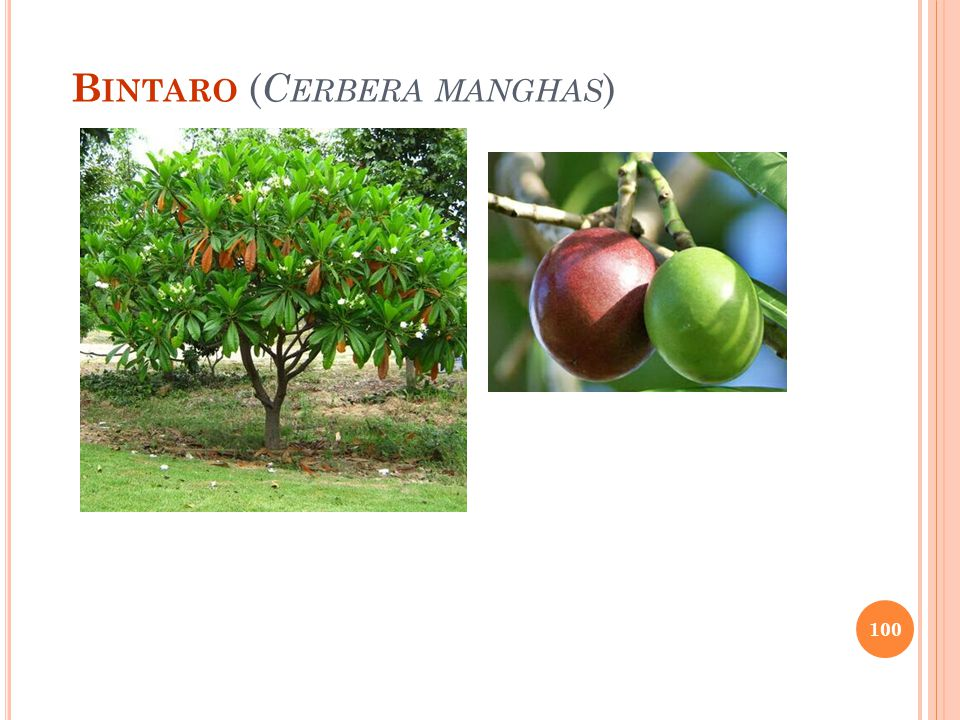 Bintaro (Cerbera manghas)