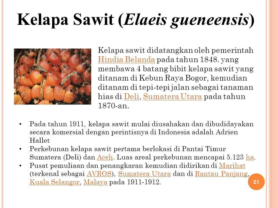 Kelapa Sawit (Elaeis gueneensis)