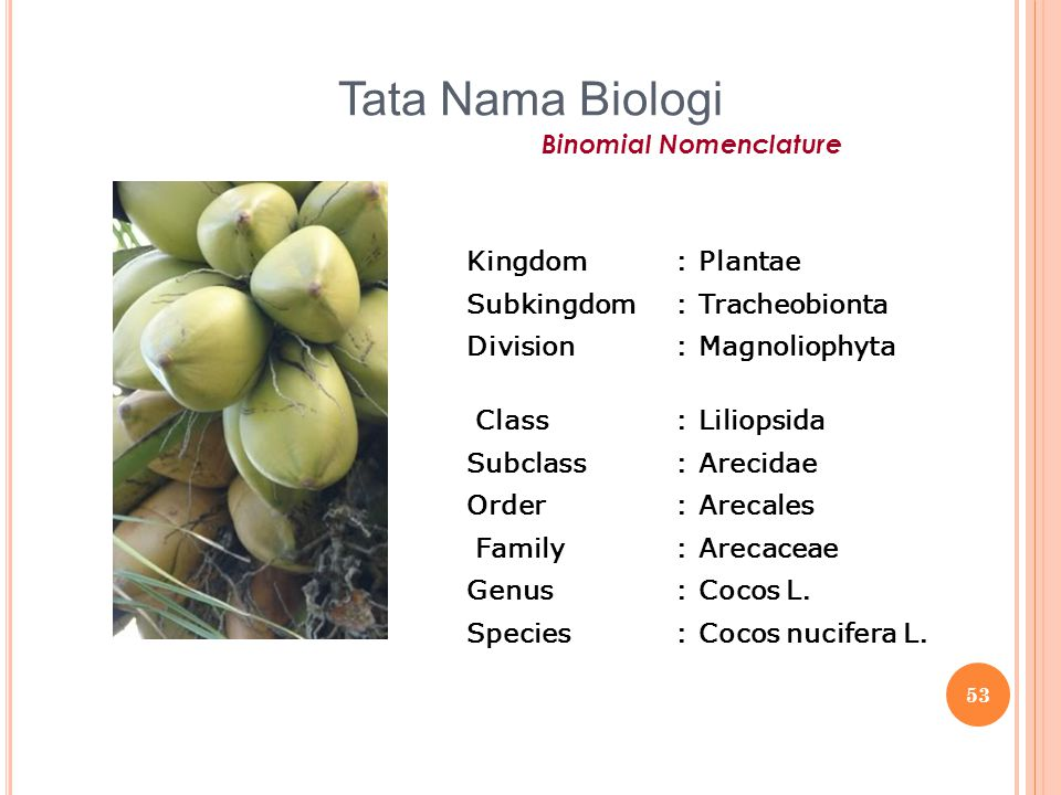Tata Nama Biologi Binomial Nomenclature Kingdom : Plantae Subkingdom
