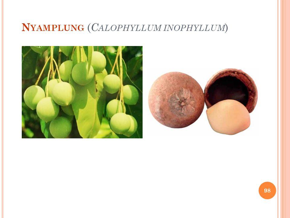 Nyamplung (Calophyllum inophyllum)