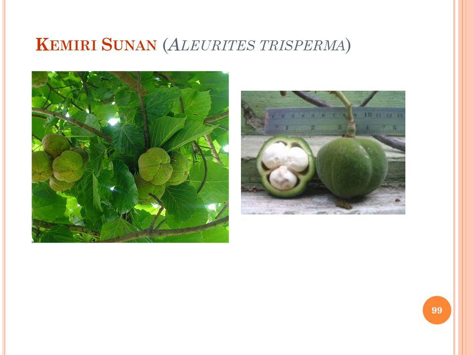 Kemiri Sunan (Aleurites trisperma)