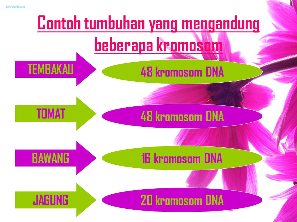 Contoh tumbuhan yang mengandung beberapa kromosom