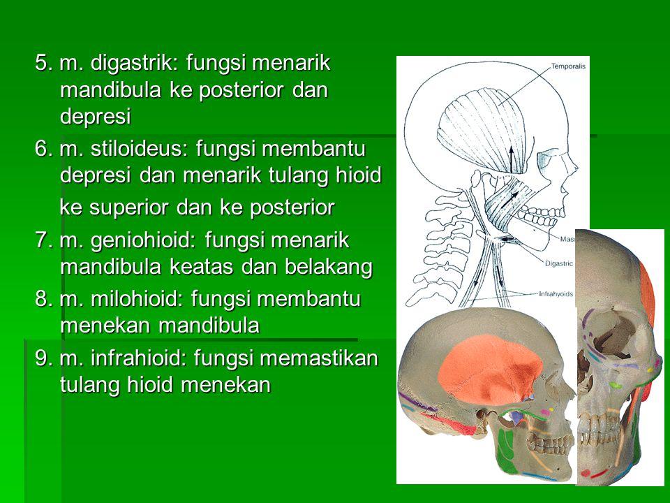 5. m. digastrik: fungsi menarik mandibula ke posterior dan depresi