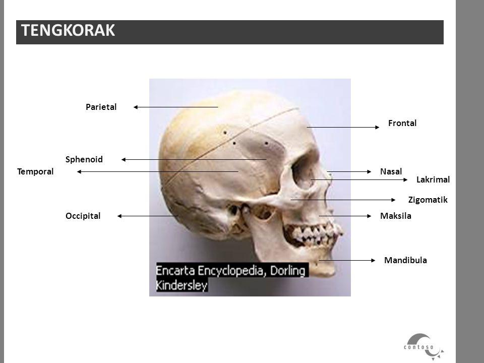 TENGKORAK Parietal Sphenoid Temporal Occipital Frontal Zigomatik