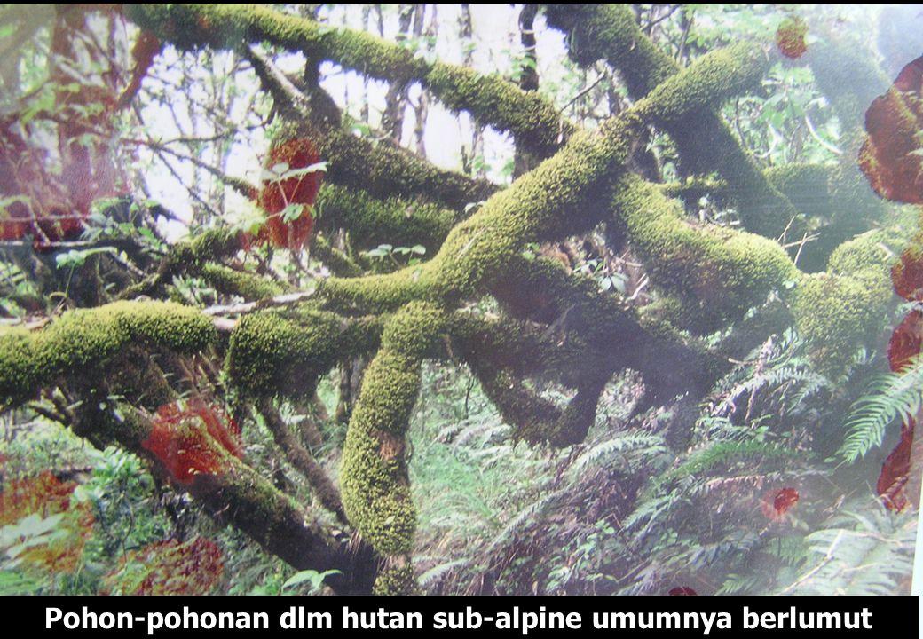 Pohon-pohonan dlm hutan sub-alpine umumnya berlumut