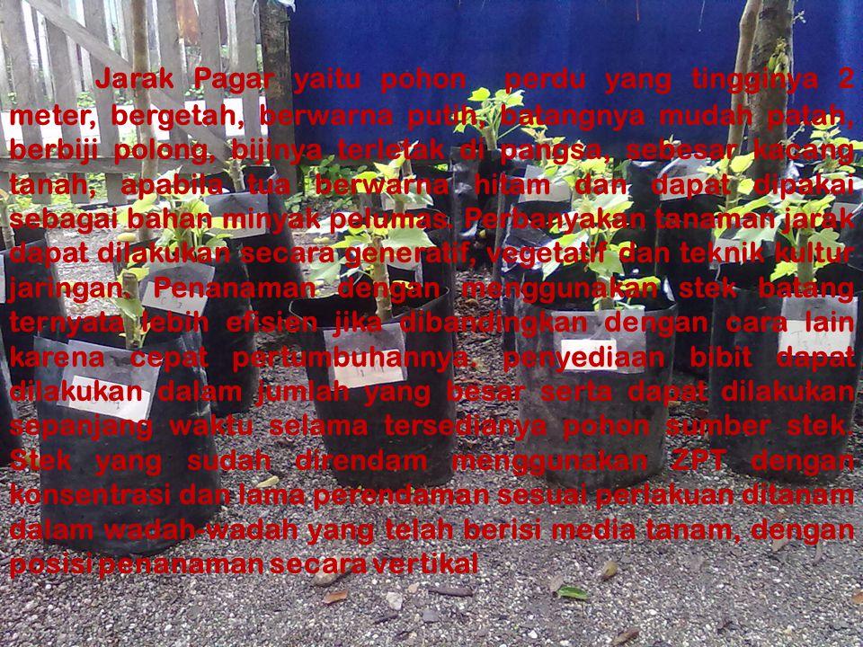 Jarak Pagar yaitu pohon perdu yang tingginya 2 meter, bergetah, berwarna putih, batangnya mudah patah, berbiji polong, bijinya terletak di pangsa, sebesar kacang tanah, apabila tua berwarna hitam dan dapat dipakai sebagai bahan minyak pelumas.