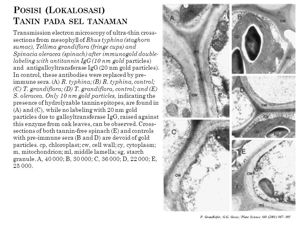 Posisi (Lokalosasi) Tanin pada sel tanaman
