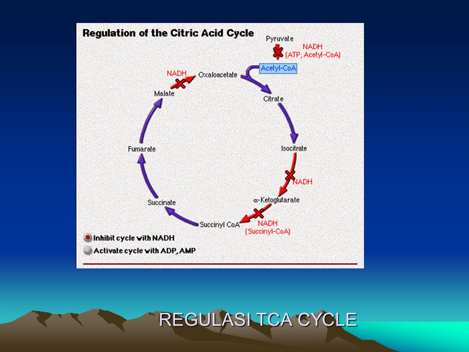 REGULASI TCA CYCLE
