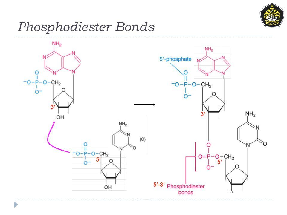 Phosphodiester Bonds 3' 5' OH 5'-3' 3' 5'
