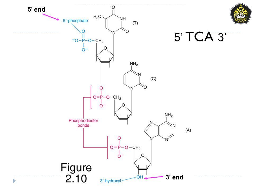 5' end 5' TCA 3' 3' end