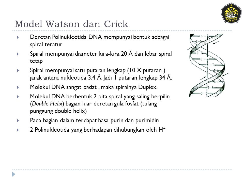 Model Watson dan Crick Deretan Polinukleotida DNA mempunyai bentuk sebagai spiral teratur.