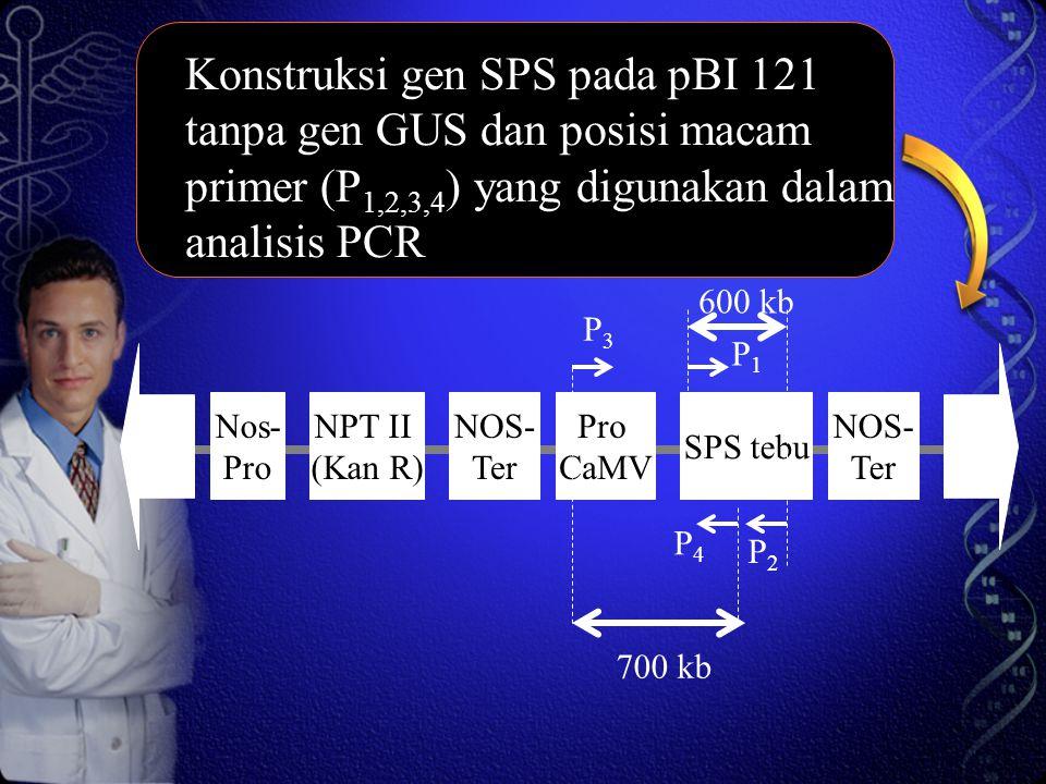 Konstruksi gen SPS pada pBI 121 tanpa gen GUS dan posisi macam primer (P1,2,3,4) yang digunakan dalam analisis PCR