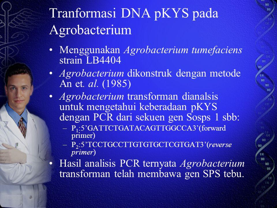 Tranformasi DNA pKYS pada Agrobacterium
