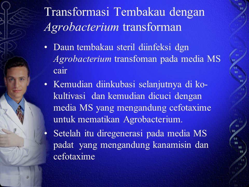 Transformasi Tembakau dengan Agrobacterium transforman