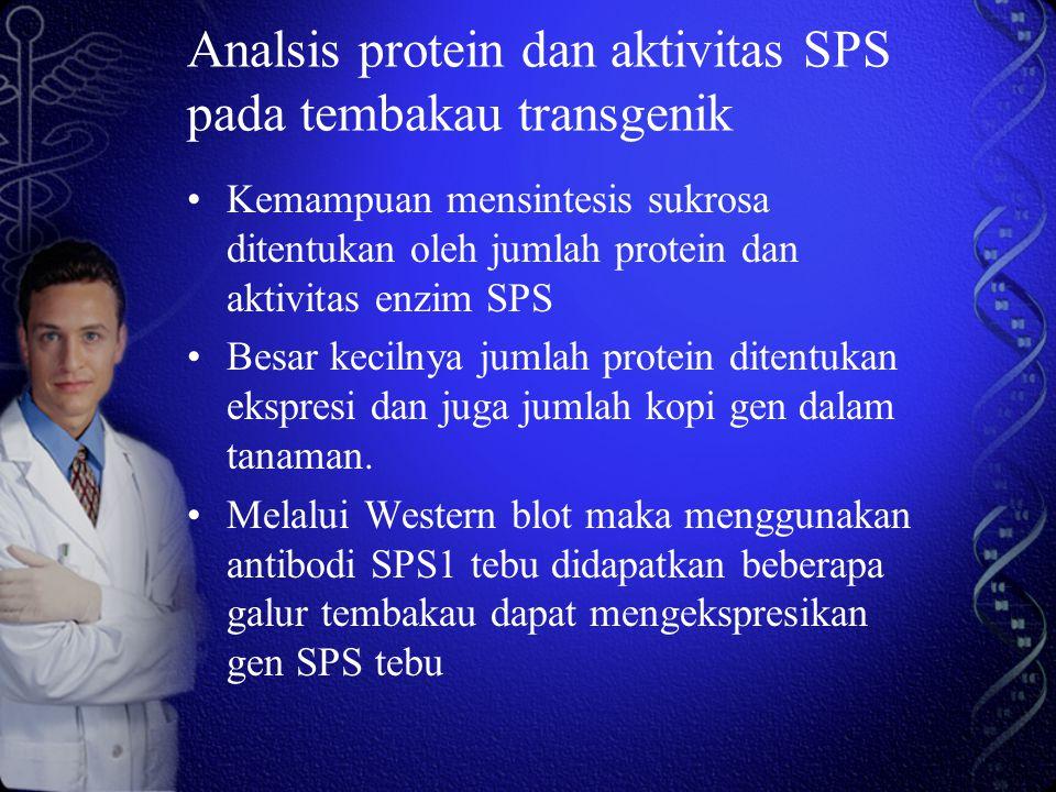 Analsis protein dan aktivitas SPS pada tembakau transgenik