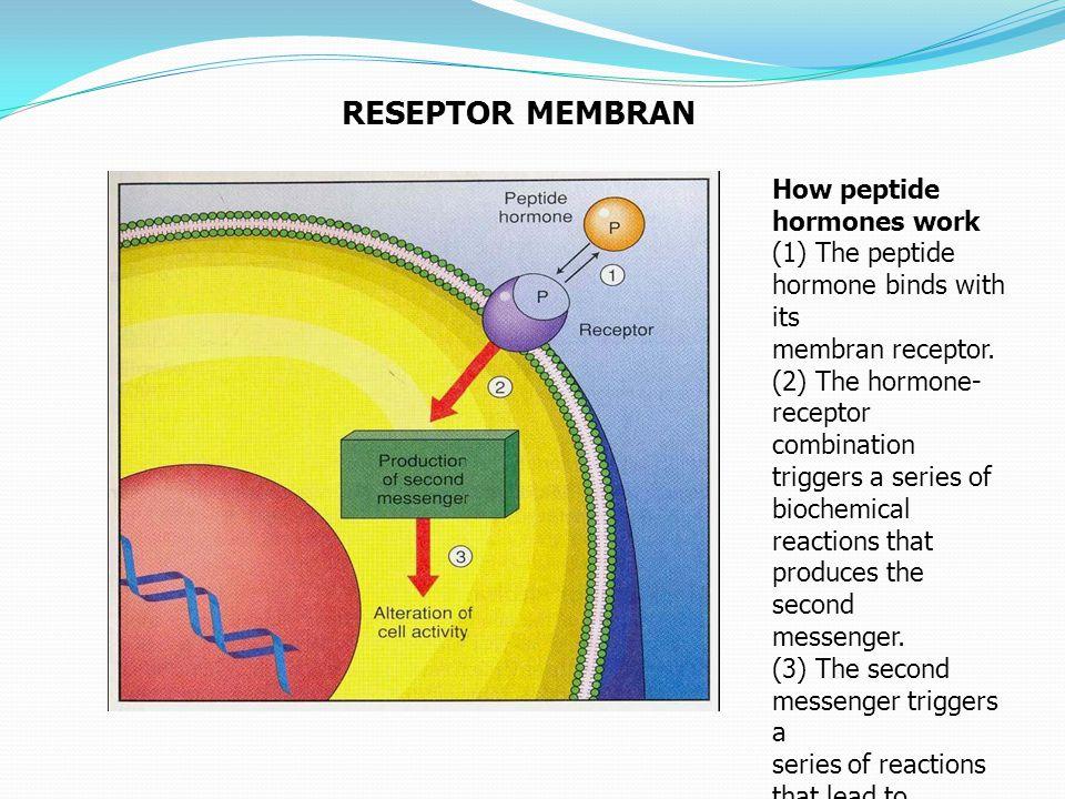 RESEPTOR MEMBRAN How peptide hormones work