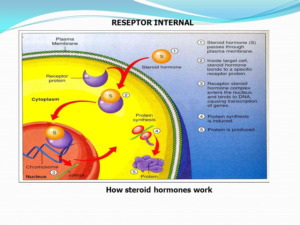 RESEPTOR INTERNAL How steroid hormones work