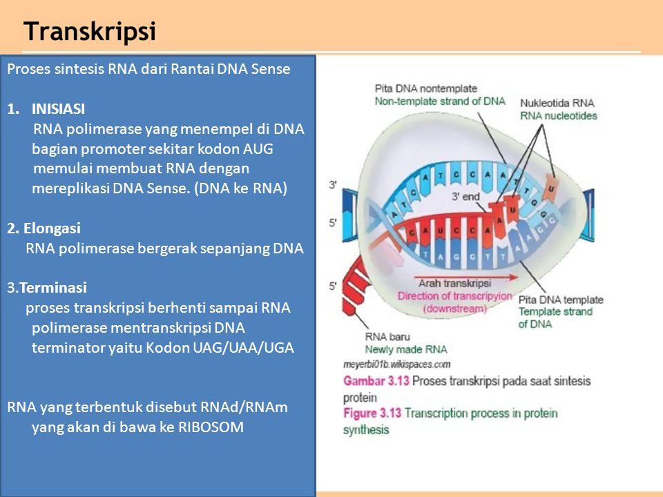 Proses sintesis RNA dari Rantai DNA Sense