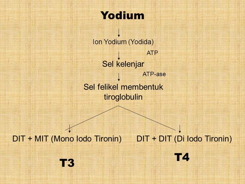 Yodium T4 T3 Sel kelenjar Sel felikel membentuk tiroglobulin