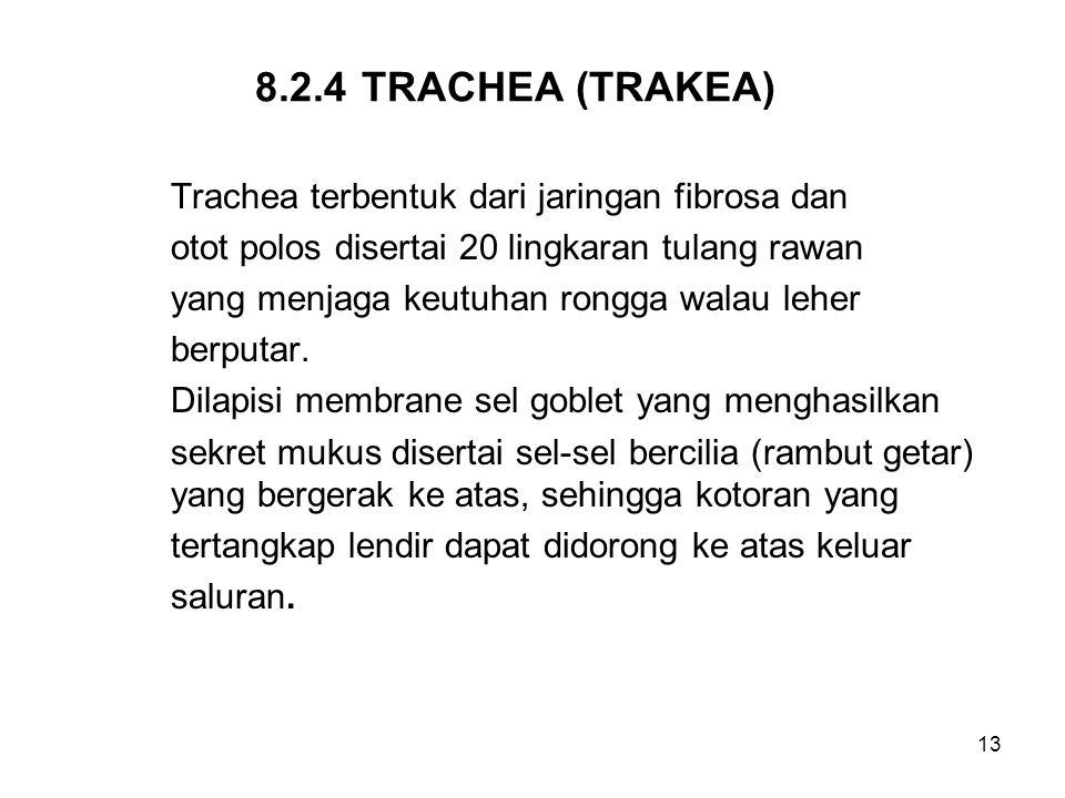 8.2.4 TRACHEA (TRAKEA) Trachea terbentuk dari jaringan fibrosa dan