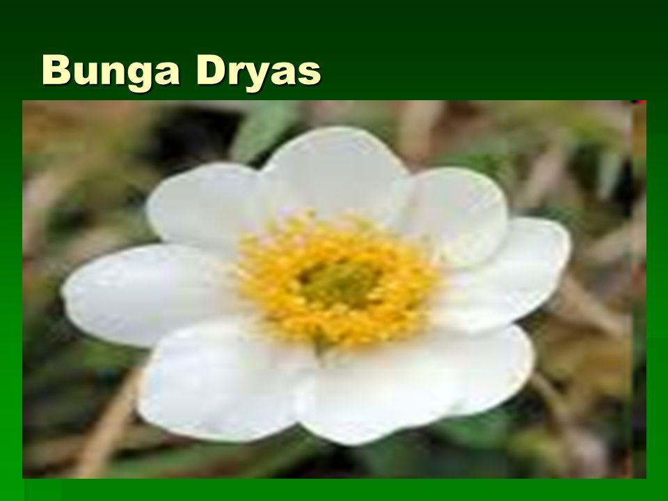 Bunga Dryas