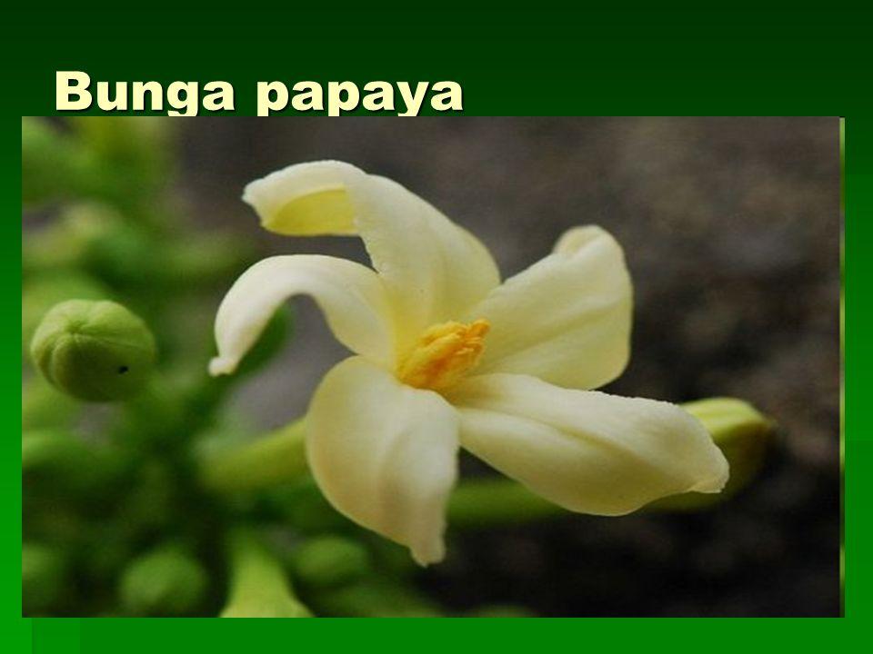 Bunga papaya