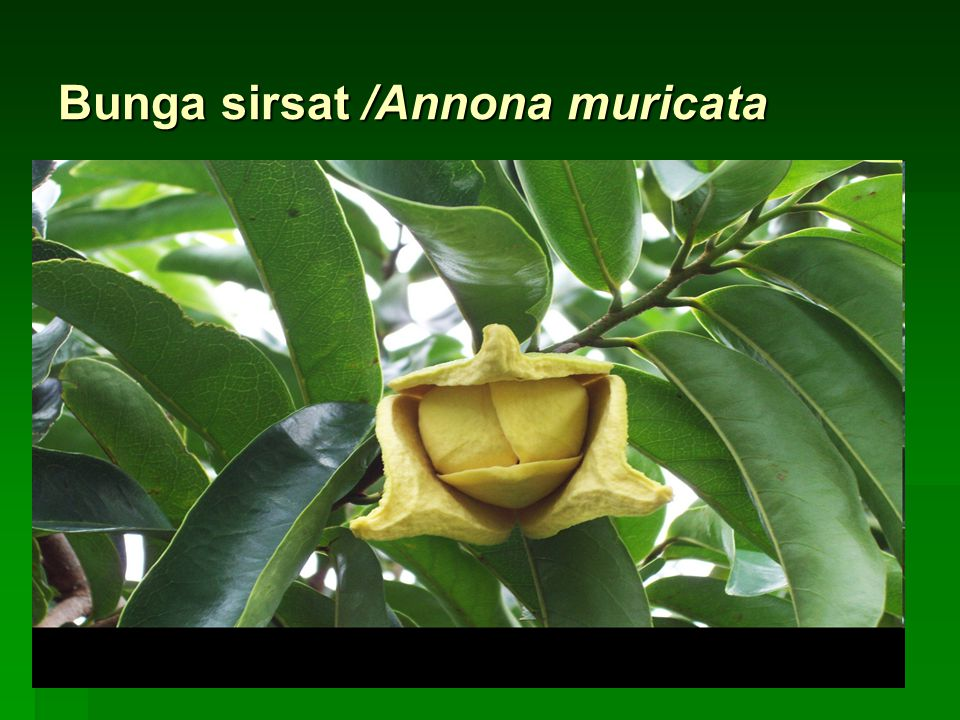 Bunga sirsat /Annona muricata