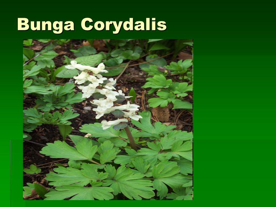 Bunga Corydalis