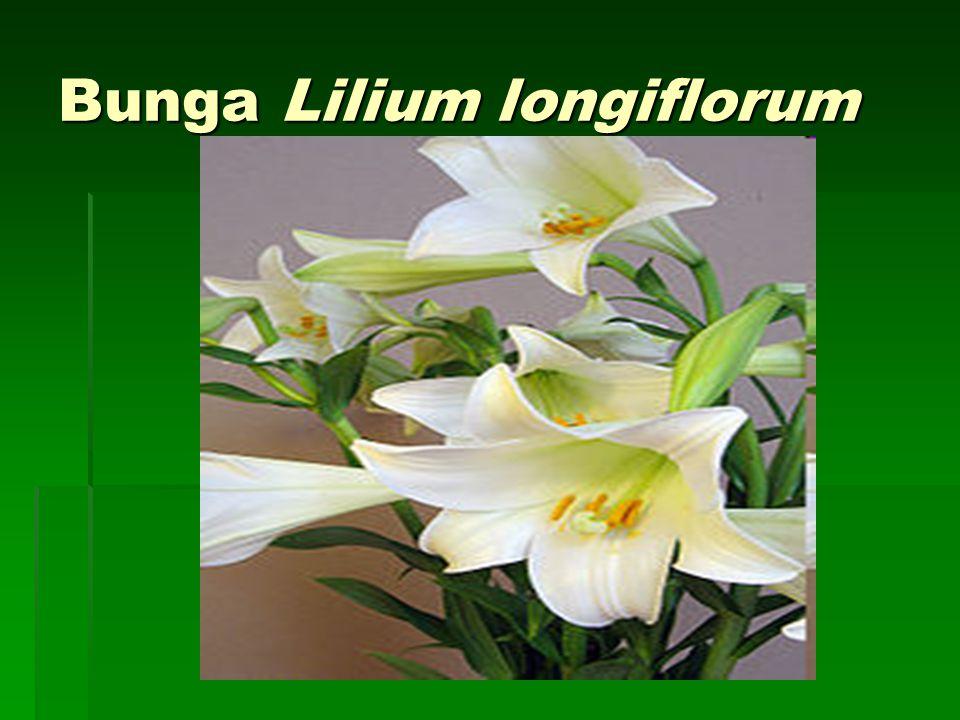 Bunga Lilium longiflorum