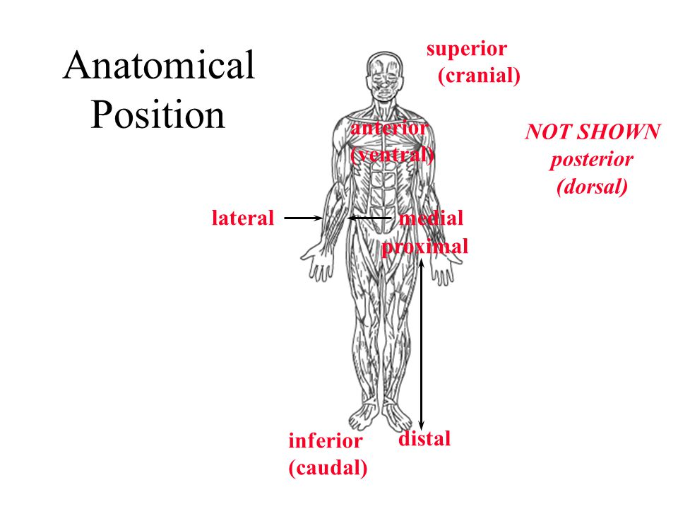 Anatomical Position superior (cranial) anterior (ventral) NOT SHOWN
