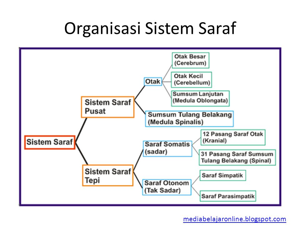 Organisasi Sistem Saraf