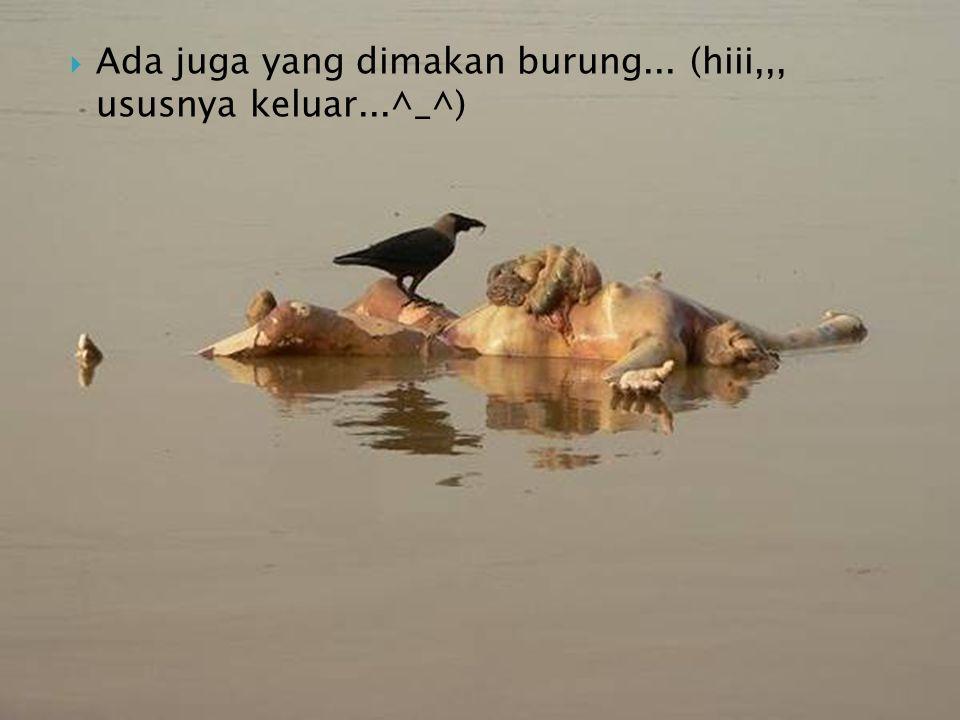 Ada juga yang dimakan burung... (hiii,,, ususnya keluar...^_^)