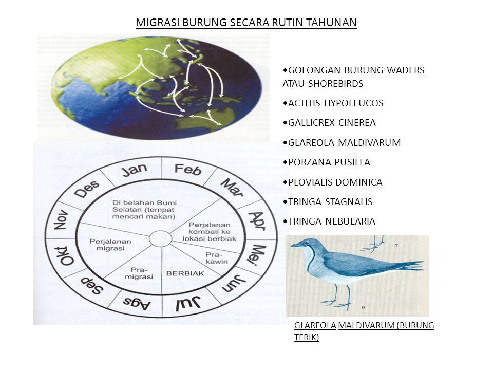 MIGRASI BURUNG SECARA RUTIN TAHUNAN