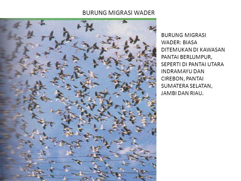 BURUNG MIGRASI WADER