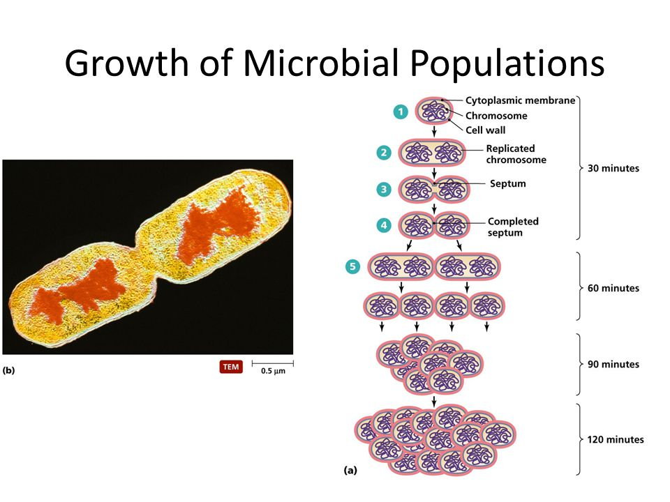 Growth of Microbial Populations