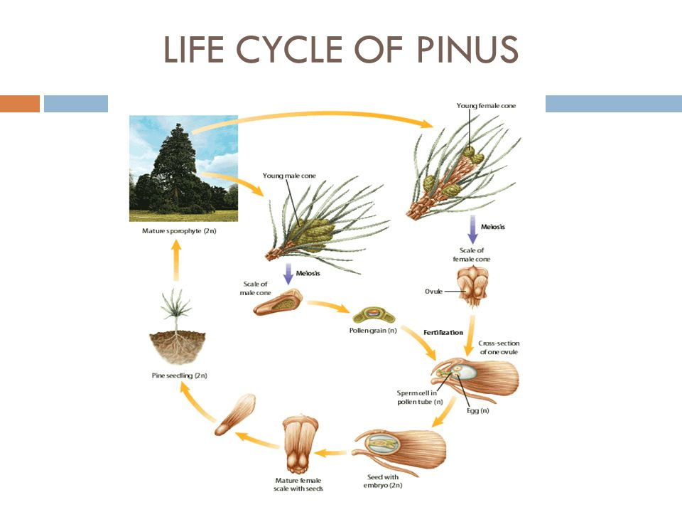 LIFE CYCLE OF PINUS