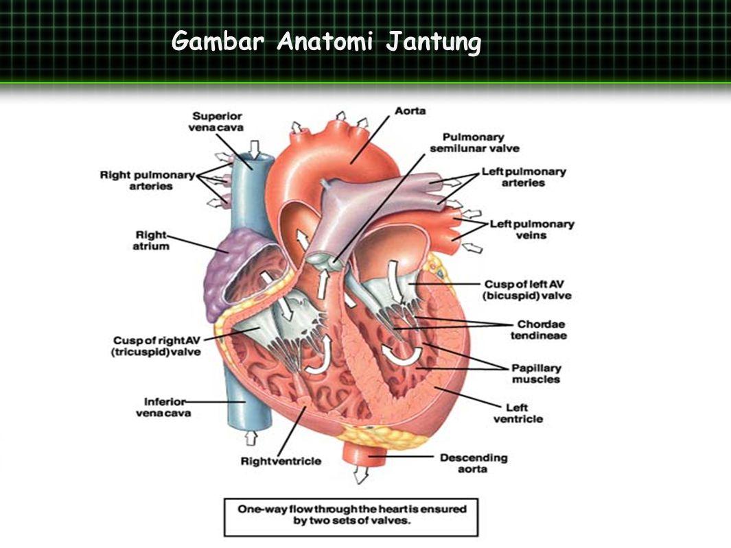 Gambar Anatomi Jantung