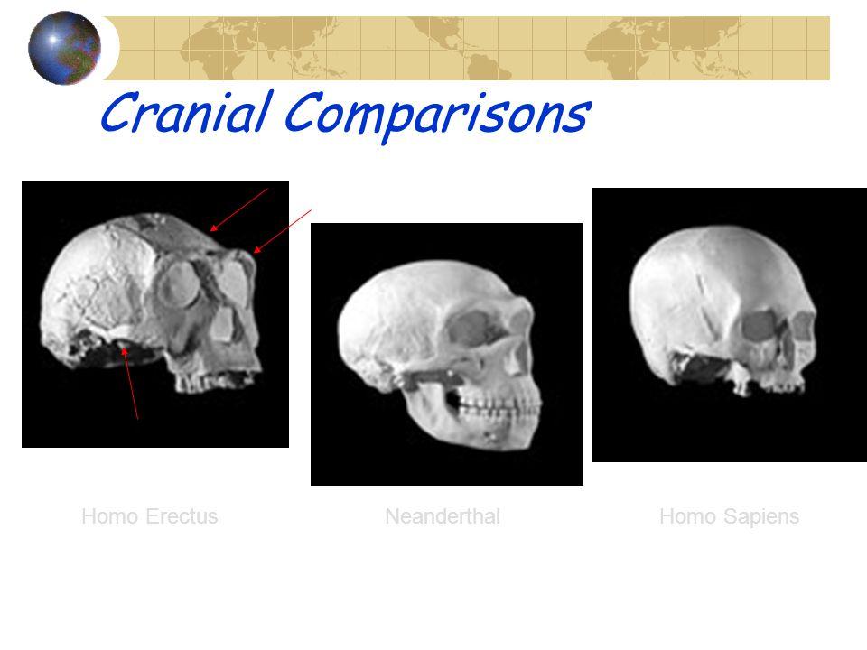 Cranial Comparisons Homo Erectus Neanderthal Homo Sapiens