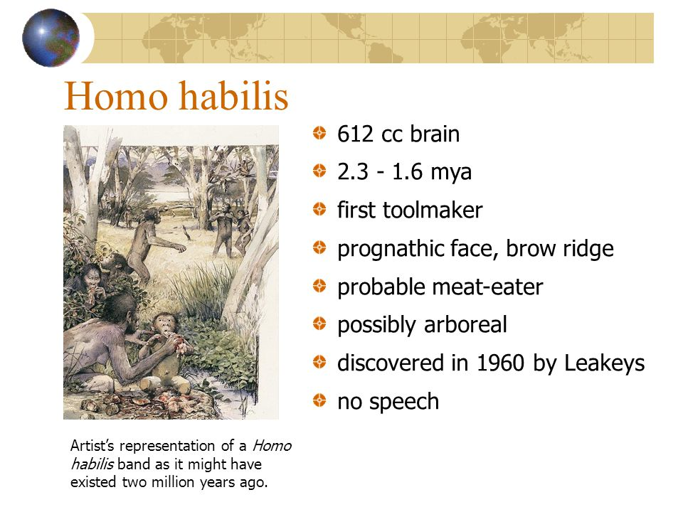 Homo habilis 612 cc brain 2.3 - 1.6 mya first toolmaker