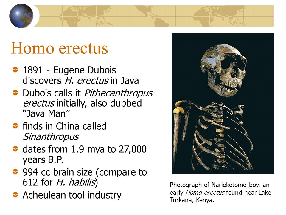 Homo erectus 1891 - Eugene Dubois discovers H. erectus in Java