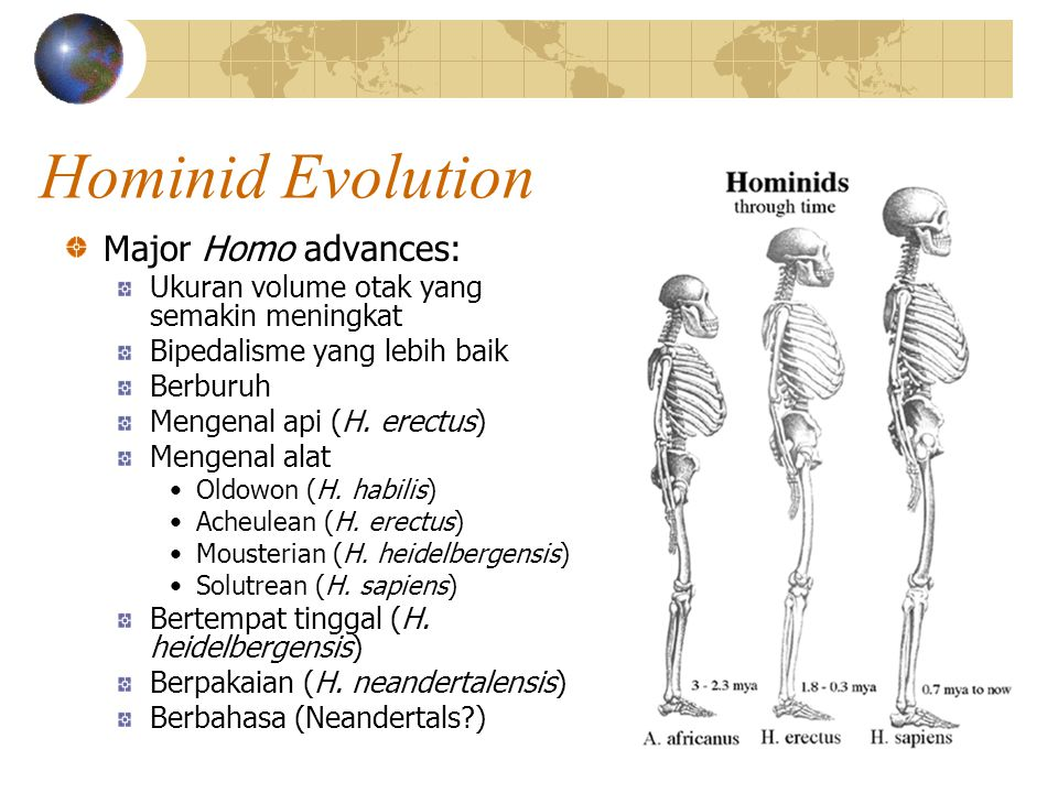 Hominid Evolution Major Homo advances: