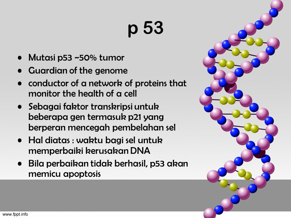 p 53 Mutasi p53 ~50% tumor Guardian of the genome