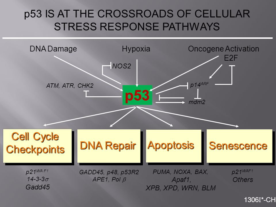 p53 IS AT THE CROSSROADS OF CELLULAR STRESS RESPONSE PATHWAYS