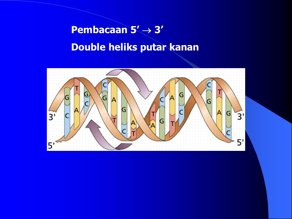 Pembacaan 5'  3' Double heliks putar kanan