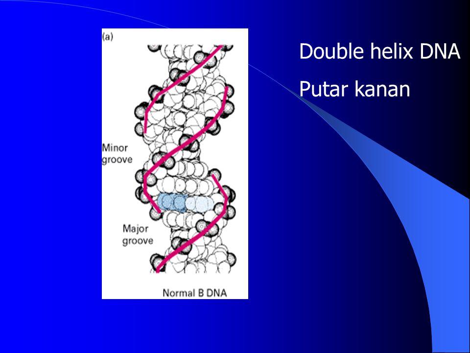 Double helix DNA Putar kanan